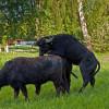 Asiatische Wasserbüffel neu seit Mai 2011 auf den Tiefwerder Wiesen. (Foto: Ralf Salecker)