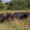 Mauerradweg in den Spektewiesen, Wasserbüffel, als biologische Rasenmäher (Foto: Ralf Salecker)